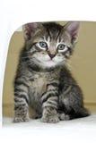 Binnenlandse kat, katje in doos voor vervoer Stock Foto
