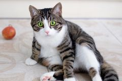 Binnenlandse kat met groene ogenhorloges voorzichtig en vastbesloten stock afbeelding