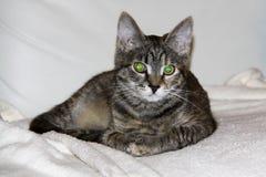 Binnenlandse kat met grote groene ogen stock fotografie