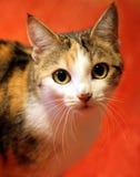 Binnenlandse kat op een rood tapijt Stock Afbeelding