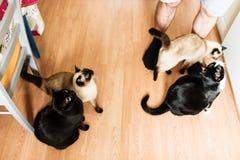 Binnenlandse katten die omhooggaand en voor voedsel bedelen kijken stock foto