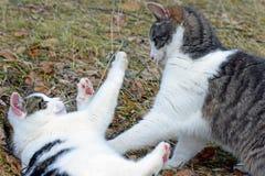 Binnenlandse katten die in openlucht spelen stock fotografie