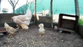 Binnenlandse kip met lathyrus in een netto kooi stock footage