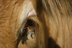 Binnenlandse koe in het noorden van Frankrijk Royalty-vrije Stock Foto's