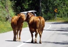 Binnenlandse Koeien die - Aard kussen - Reis Europa Stock Foto's