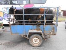 Binnenlandse koeienreis stock foto's