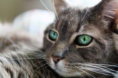 Binnenlandse korte haar grijze kat, groene ogen, met witte achtergrond Royalty-vrije Stock Foto's