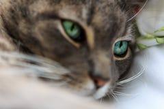 Binnenlandse korte haar grijze kat, groene ogen, met witte achtergrond Stock Foto's