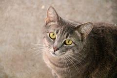 Binnenlandse korte haired kat stock fotografie