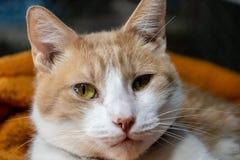 Binnenlandse korte haired kat stock afbeeldingen