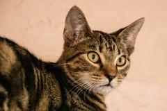 Binnenlandse korte haired kat stock afbeelding