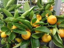 Binnenlandse mandarijnen Royalty-vrije Stock Afbeeldingen
