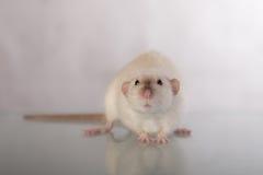 Binnenlandse rattenclose-up Stock Fotografie