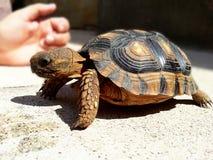 Binnenlandse schildpad Huisdier Stock Afbeeldingen