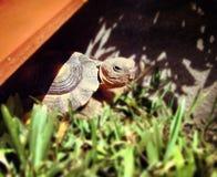 Binnenlandse schildpad Huisdier Stock Afbeelding