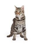 Binnenlandse Shorthair Tabby Cat Sitting Stock Afbeeldingen