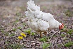 Binnenlandse van het gevogeltepaaseieren van de landbouwbedrijfkip het dorpshaan Royalty-vrije Stock Foto