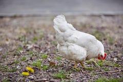Binnenlandse van het gevogeltepaaseieren van de landbouwbedrijfkip het dorpshaan Royalty-vrije Stock Afbeeldingen