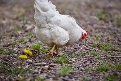 Binnenlandse van het gevogeltepaaseieren van de landbouwbedrijfkip het dorpshaan Stock Afbeelding