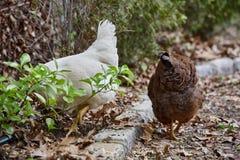 Binnenlandse van het gevogeltepaaseieren van de landbouwbedrijfkip het dorpshaan Royalty-vrije Stock Foto's