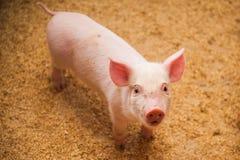 Binnenlandse varkens op een landbouwbedrijf Stock Fotografie
