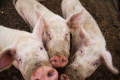Binnenlandse varkens op een landbouwbedrijf Stock Foto