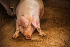 Binnenlandse varkens op een landbouwbedrijf Royalty-vrije Stock Foto