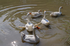 Binnenlandse witte gans in vijver Royalty-vrije Stock Fotografie