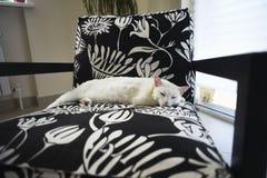 Binnenlandse witte slaperige kat die op de stoel liggen royalty-vrije stock fotografie