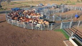 Binnenlandvee het verzamelen zich met kudde van vee stock footage