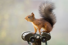 Binoculars squirrel Royalty Free Stock Photography