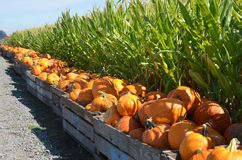 Pumpkins next to a corn field. These bins of pumpkins are next to a corn field on a farm in Gervis, Oregon royalty free stock image