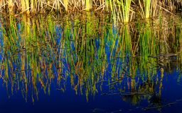 Binsenanlagen reflektierten sich in einem Teich lizenzfreie stockbilder