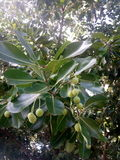 Bintangor träd och frukt Arkivbilder