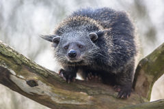 Binturong ή bearcat σε ένα δέντρο Στοκ Εικόνα
