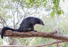 Binturong ή bearcat συνεδρίαση Arctictis binturong στον κλάδο του δέντρου Στοκ Εικόνες