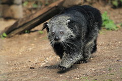 Binturong Stock Photography