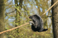 Binturong Royalty Free Stock Photography