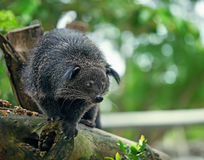 Binturong Royalty Free Stock Image