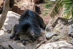 Binturong (Arctictis binturong) asleep Stock Image