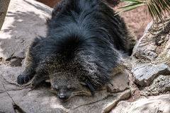 Binturong (Arctictis binturong) asleep Royalty Free Stock Photography