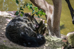 Binturong (Arctictis binturong) asleep Royalty Free Stock Images