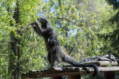 Binturong asian bear close up portrait Royalty Free Stock Images