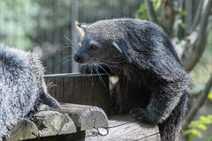 Binturong asian bear close up portrait Stock Photography