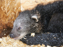 Binturong baby Stock Photography