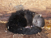 Binturong baby stock photos