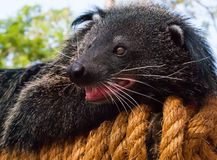 Binturong, Bearcat Στοκ φωτογραφίες με δικαίωμα ελεύθερης χρήσης