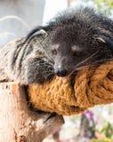 Binturong, Bearcat Στοκ φωτογραφία με δικαίωμα ελεύθερης χρήσης