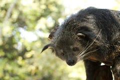 Binturong & Bearcat Arkivfoton