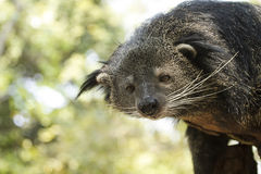 Binturong & Bearcat Royaltyfria Bilder